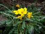 Morisia monanthos E_CF